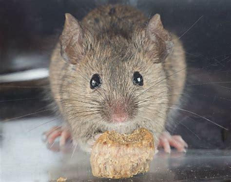 How Do You Get Mice Out of Your Walls? - Effective