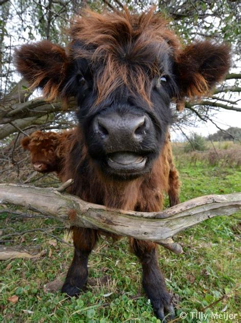Baby Calf With Cute Expression   LuvBat