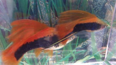 Fancy guppy, platy, molly and swordtail pedigree types