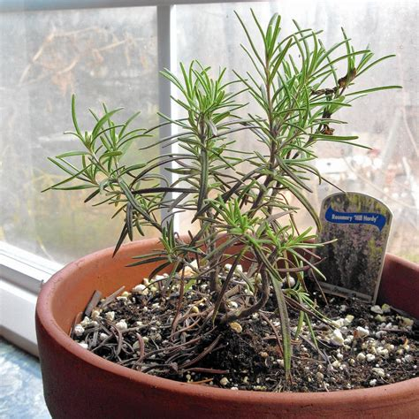Tips for keeping rosemary alive through winter - The